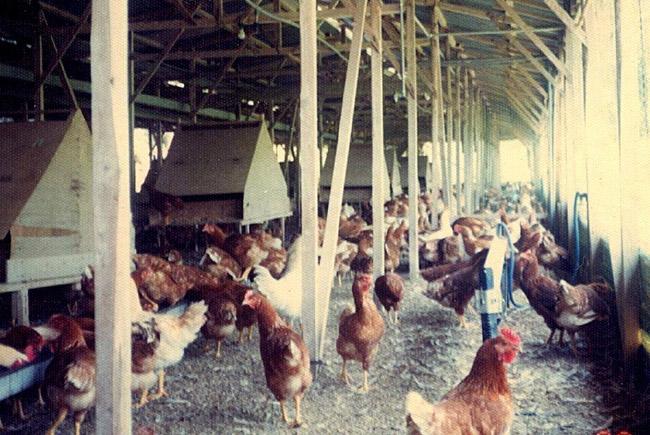自然卵養鶏の親鳥たち