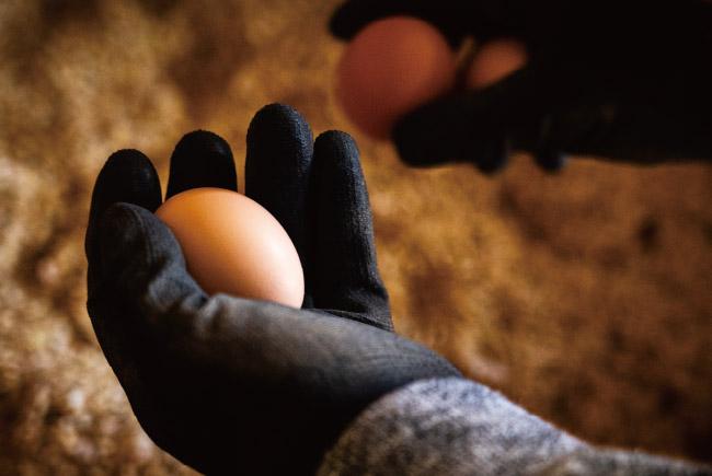 参鍋養鶏場の有精卵